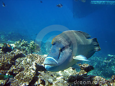 Humphead wrasse at the Great Barier Reef Australia