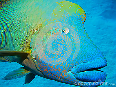 Humphead Wrasse, Great Barrier Reef, Australia