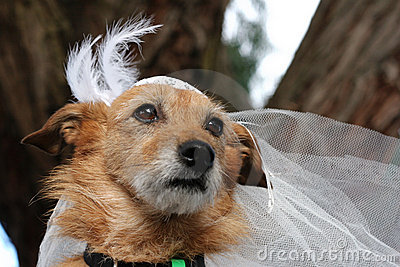 Hund in einem Brautschleier