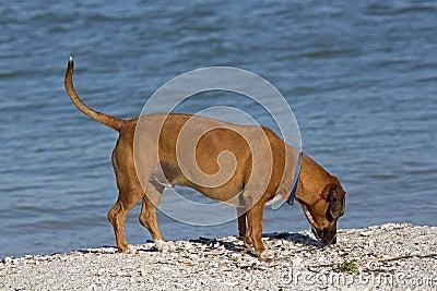 Hund för avel för boxareBasset blandad.