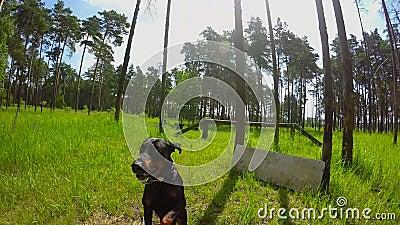 Hundedobermann springt durch die Sperre am Standort für die Ausbildung stock video footage