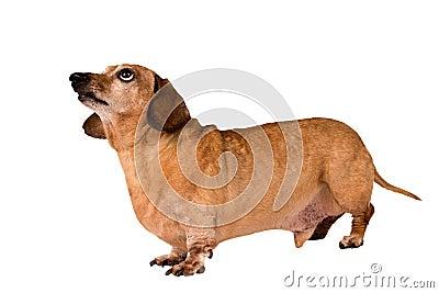 Hundeschuß in voller Länge, der oben auf Weiß lokalisiert schaut