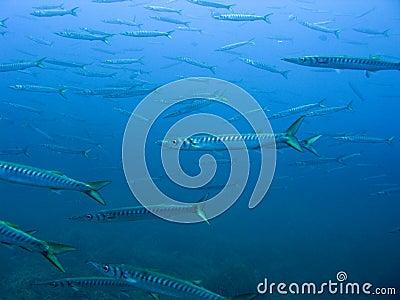 Hundreds of barracudas