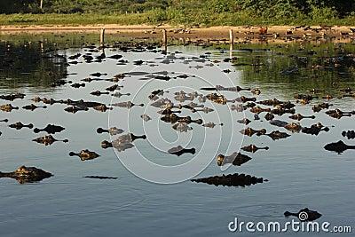 Hundreds of caimans at Pantanal