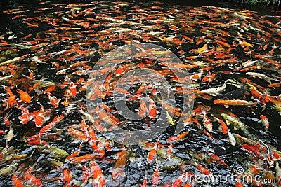 Hundreds of fancy carp koi fish in pool royalty free stock for Koi carp pool design