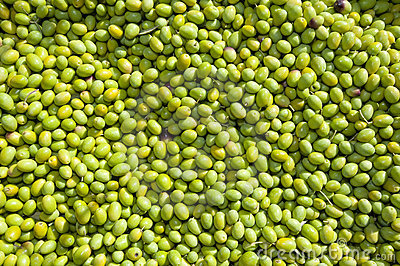 Hundreds of freshly picked green olives