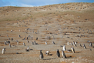 Hundreds of magellanic penguins