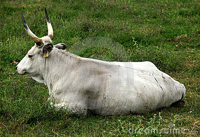 Hungarian grey cattle
