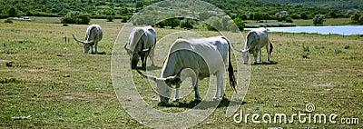 Hungarian Grey Cattle - Szürkemarha