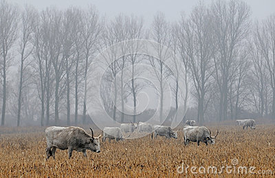 Hungarian grey cows in a field