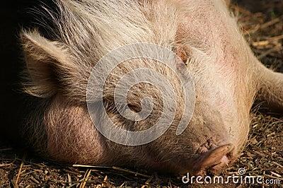 Hungarian mangalitsa pig