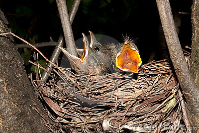 Hungry baby blackbirds / Turdus merula