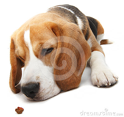 Hungry beagle dog