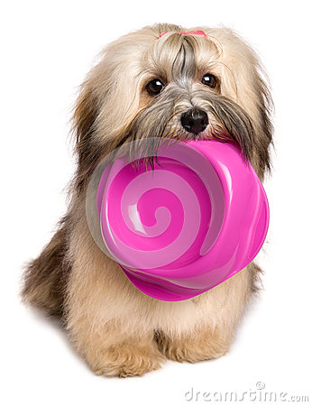 Free Hungry Bichon Havanese Puppy Keep A Food Bowl In Her Mouth Royalty Free Stock Image - 64914376