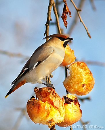 Hungry bird eating apples