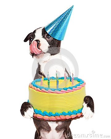 Hungry Birthday Puppy Holding Cake Stock Photo Image