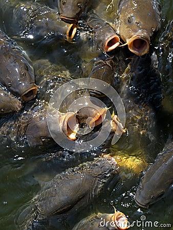 Hungry carps