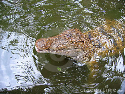 Hungry Crocodile