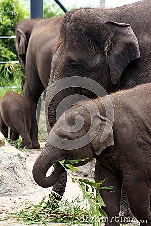 Hungry Elephants.