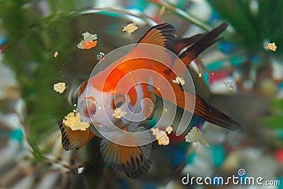 Hungry Goldfish
