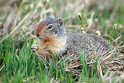 Hungry Ground Squirrel
