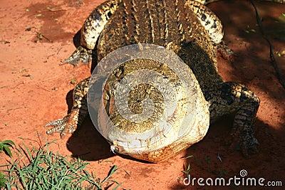 Hungry huge crocodile