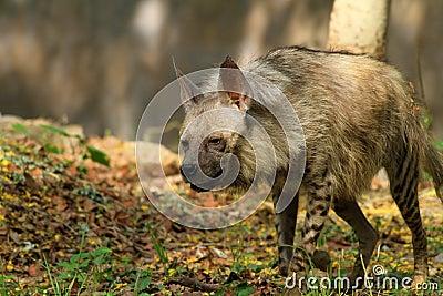 Hungry hyena