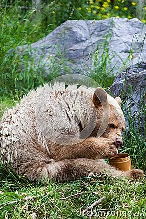 https://thumbs.dreamstime.com/x/hungry-kermode-bear-eating-honey-white-spirit-licks-its-paw-off-jar-43030868.jpg