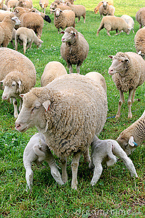 Free Hungry Lambs Stock Photo - 1382420