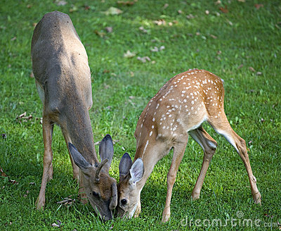 Hungry pair of whitetail bucks