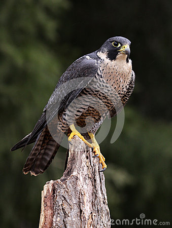 Hungry Peregrine Falcon