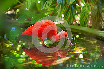 Hungry Scarlet Ibis