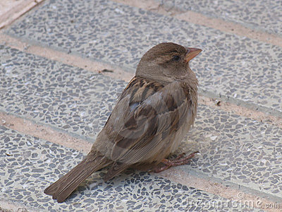 Hungry sparrow