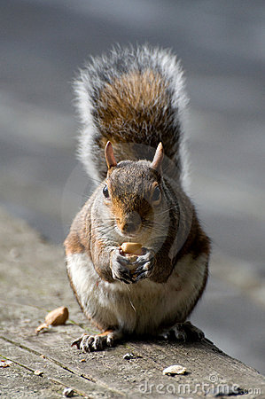 Hungry Squirrel in london