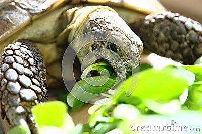 Hungry Tortoise