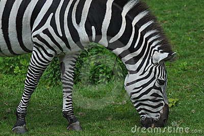 Hungry Zebra