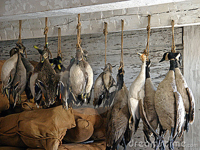 Hunted Canadian geese
