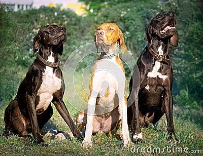 Hunter dog-English pointer