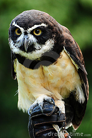 Hunter owl