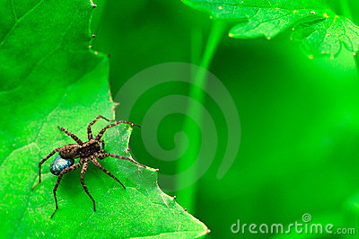 Hunter spider looking for his prey