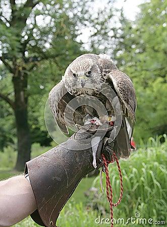 Hunting bird 6