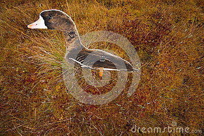 Hunting on a bog  with goose profile