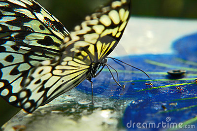 Hunting butterfly