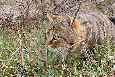 A hunting cat