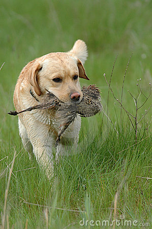 Free Hunting Dog Stock Images - 1394014