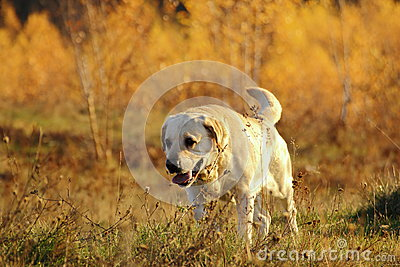 Hunting dog in the forest