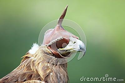 Hunting falcon