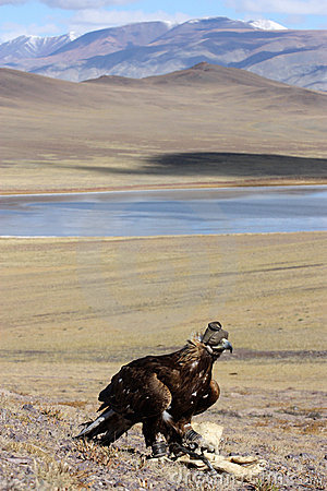 Hunting with golden eagle in mongolian desert.