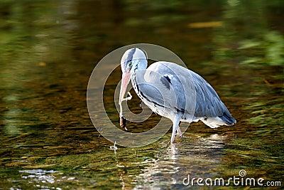 A hunting heron.