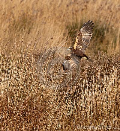 A hunting Marsh Harrier
